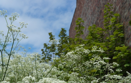 Cow parsley on wasteground