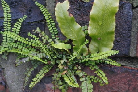 Maidenhair spleenwort and Hart's Tongue ferns