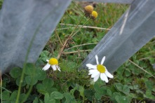Mayweed by the roadside