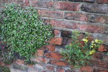 Ivy leaved Toadflax and Ragwort