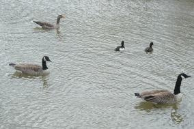 Canada geese, Greylag geese, Tufted ducks