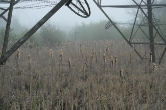 Bulrushes under the pylons