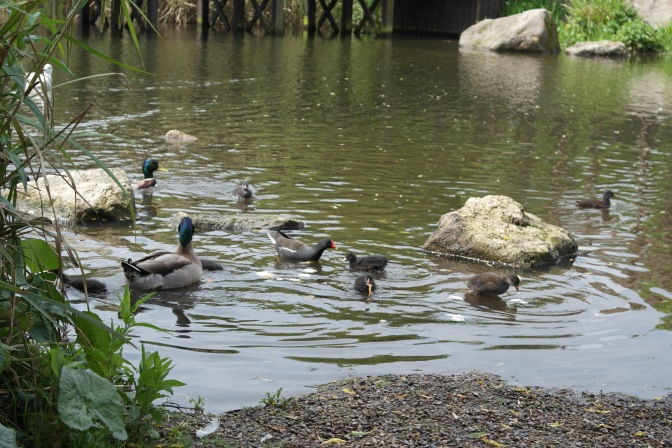 Mallard and moorhen ducklings