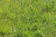 Buttercups, ribwort plantain, early flowering purple orchids