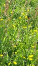 Buttercups, ribwort, sheep's sorrel