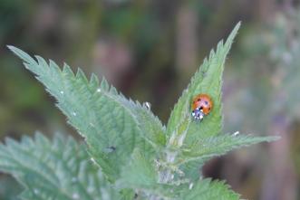 Ladybird on nettles
