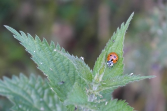 Ladybird on nettles