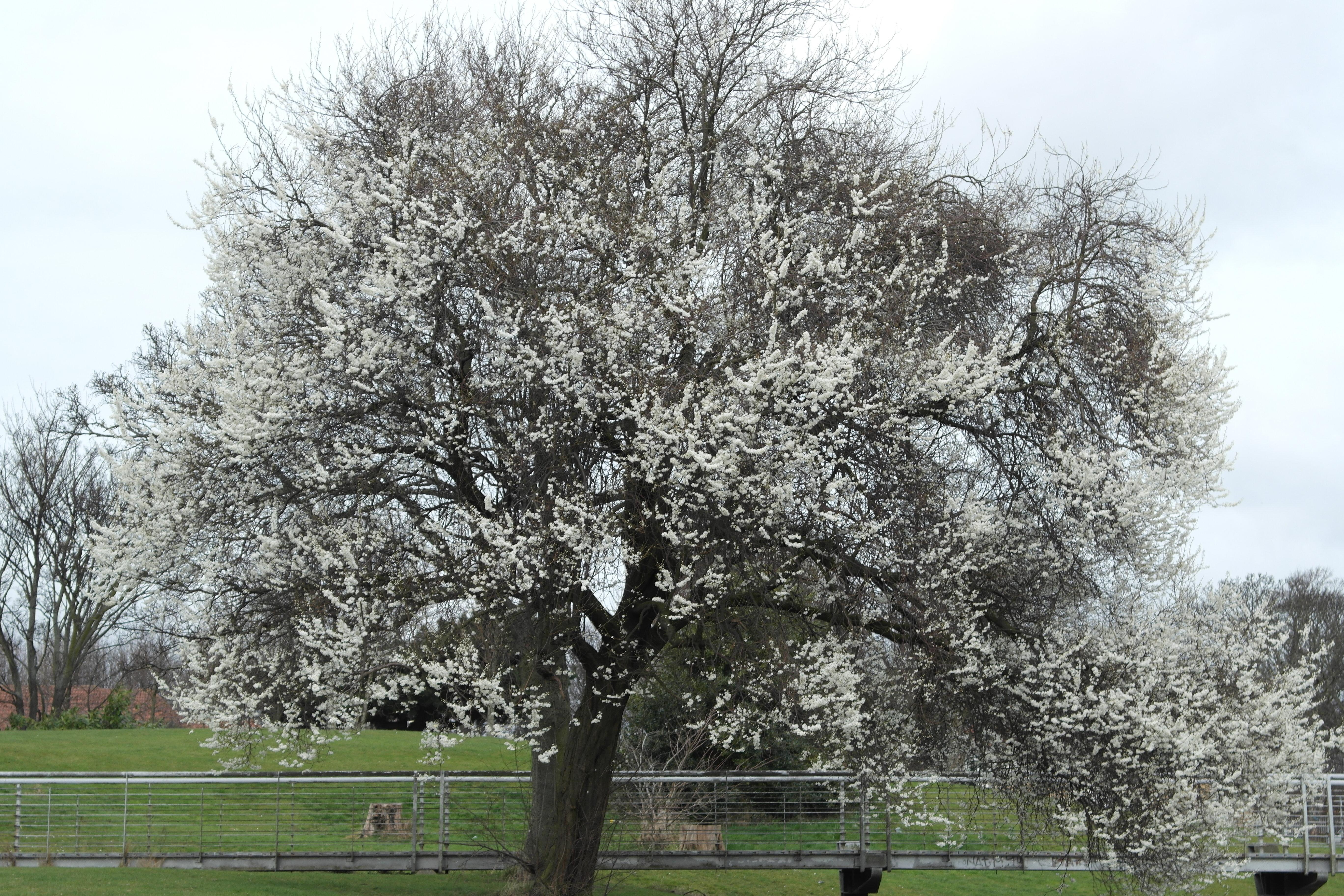 Blackthorn Tree Drawing Blackthorn
