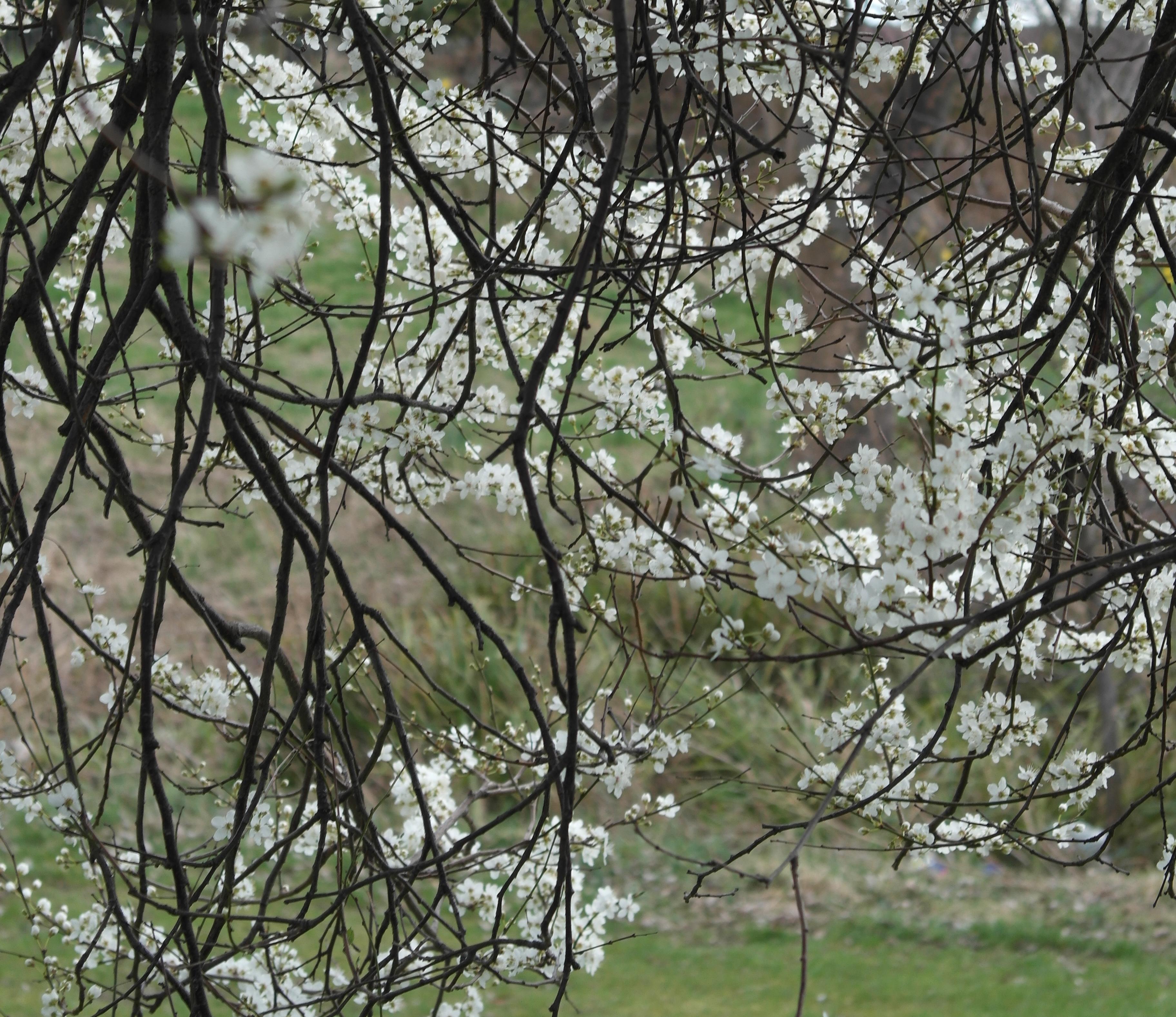 Blackthorn Tree Drawing The Blackthorn is Burdened